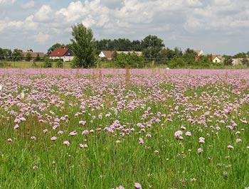 Blumenveld