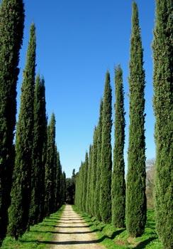 Zypressen in Frascati