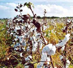 cotton field near Sevilla