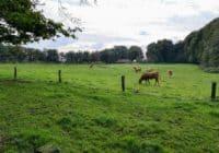 twente koeien